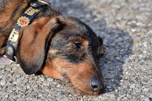 Dachshund, Rauhaardackel, Dog, Dog Head, Snout, Animal