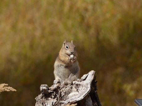 Marmot, Nature, Animal, Rodent, Cute