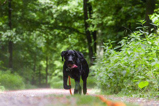 Dog, Black Dog, Labrador, Leash, Orange Leash, Towline