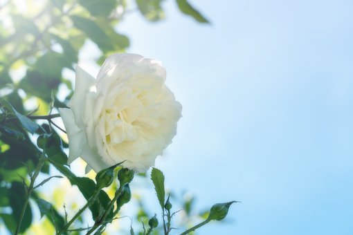 Rose, Climbing Rose, Alaska, White, Blossom, Bloom