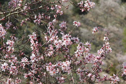 Almond, Blossom, Tree, Spring, Nature, Flowers, Bloom