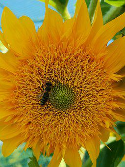 Sunflower, Bee, Yellow, Bloom, Pollen, Nature, Plant