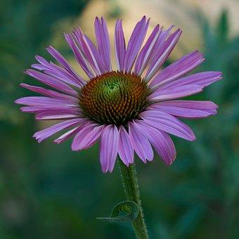 Coneflower, Echinacea, Flower, Blossom, Bloom, Nature