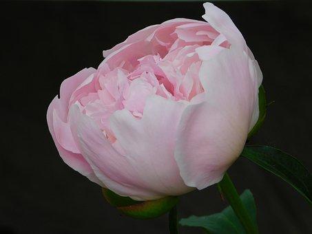 Pink, Peony, Blossom, Bloom, Summer, Nature, Flora
