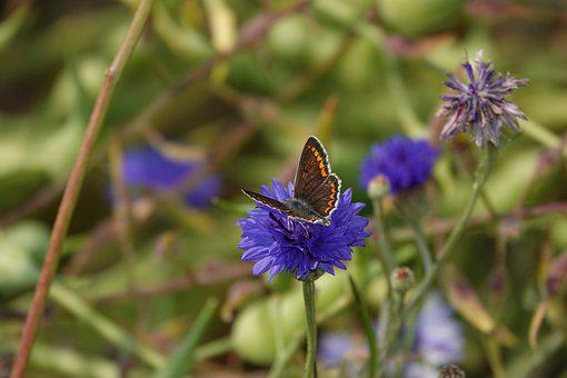 Butterfly, Cornflower, Bug, Flower, Summer, Blossom