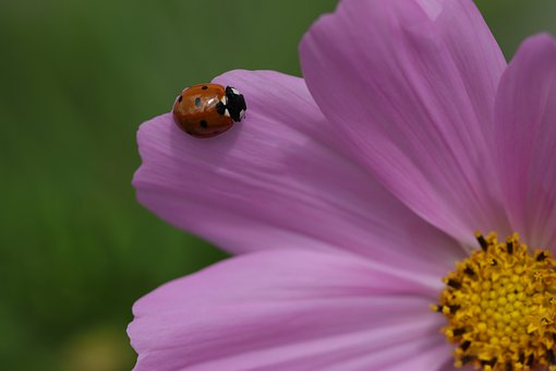 Animals, Insects, Beetles, Ladybug, Flower, Nature