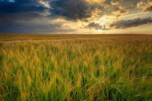 Mature, Harvest, Grain, Wheat, Cereals, Grow, Growth