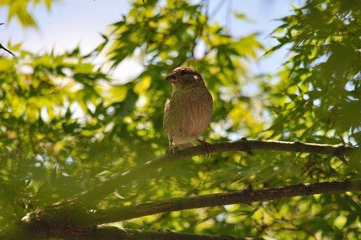 House Sparrow, Passer Domesticus, Sperling, Bird