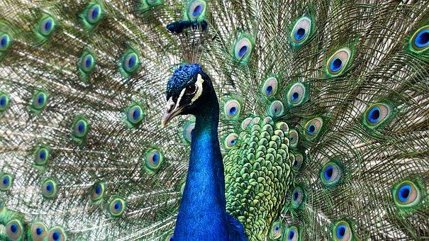 Peafowl, Peacock, Indian Peafowl, Blue Peafowl