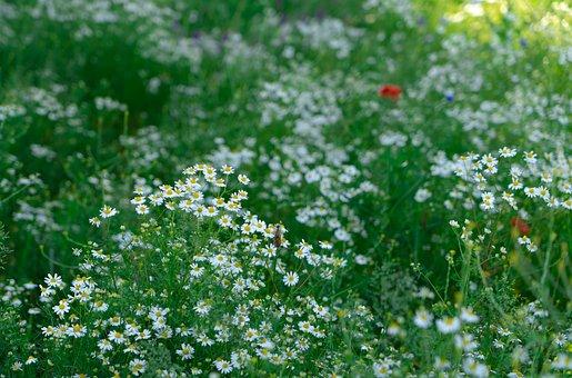 Wild Flowers, Wild Flower Meadow, Meadow, Klatschmohn