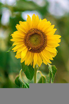 Sunflower, Nature, Field, Cultivation, Agriculture