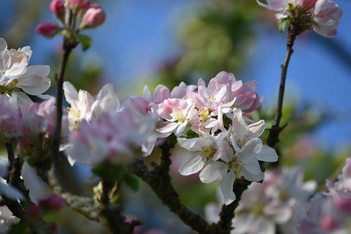 Apple Blossom, Fruit Tree, Spring, White, Nature
