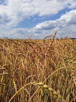Summer, Cereals, Spelt, Spelt Cultivation, Spelt Grain