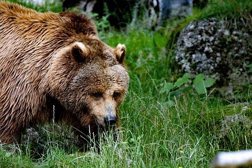 Bear, Brown Bear, Beast, Teddy Bear, Hairy, Furry, Zoo