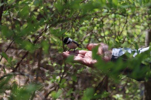 Chickadee, Bird, Nature, Stillness