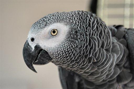 African, Grey, Parrot, Talk, Mimic, Feathers, Beak