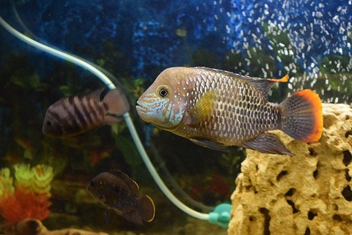 Fish, Aquarium, Acar, Piranha, Water, Predator, Sea