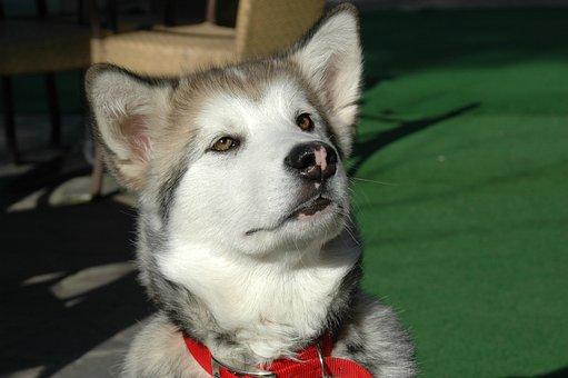 Alaskan Malamut, Puppy, Dog