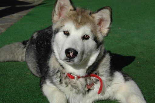 Dog, Puppy, Alaskan Malamute, Muzzle, Eyes, Pet