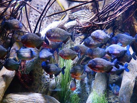 Piranhas, Fish, Aquarium, Saw Tetra, Serrasalmidae