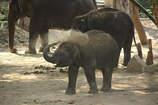 Baby Elephant, Kid, Calf, Elephant, Baby, Animal, Cute