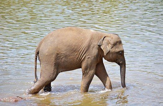 Baby Elephant, Elephants, Bath, Sun Bath, River Bath