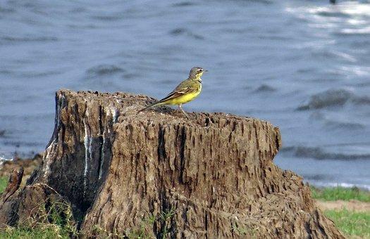 Yellow Wagtail, Wagtail, Bird, Motacilla Flava, Stump