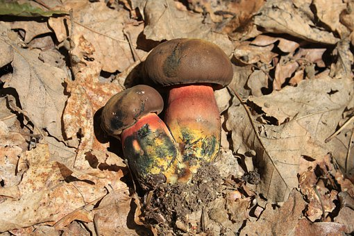 Blue, Boletus, Erythropus, Luridiformis, Red-pored
