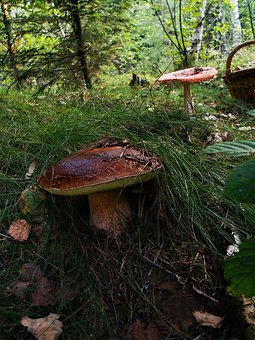 Boletus, Mushrooms, Basket, Forest, Nature, Edible, Oak