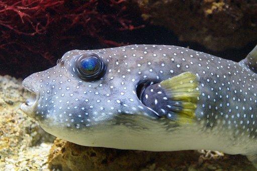 Puffer Fish, Boxfish, Fish, Underwater, Swim, Aquarium
