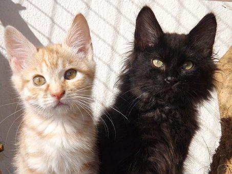 Kurilian Bobtail, Cat, Kitten, Black Kitten
