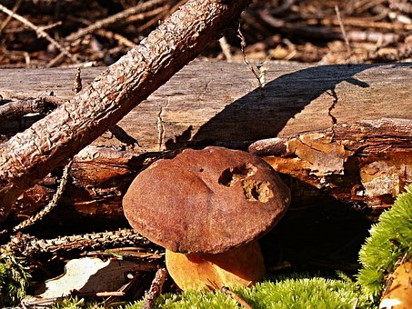 Boletus, Fungus, Forest, Mechh, Detail, Dry Branch
