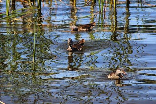 Ducks, Gadwall, Water Bird, Water, Lake, Chicken