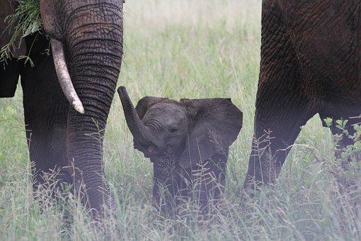 Baby Elephant, Elephant Family, Elefentankind, Elephant