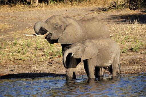 Elephant, Water Elephant, Elephant Calf, Drink, River