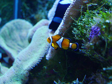Nemo, Finding Nemo, Clownfish, Coral, Sea, Fish