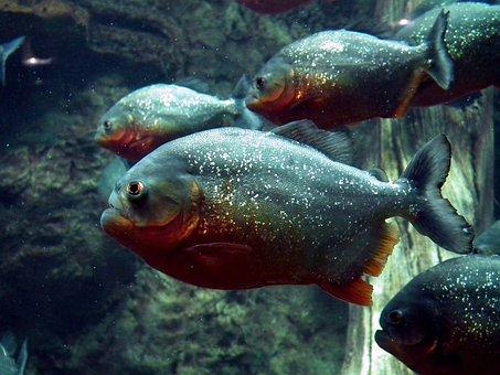 Piranha, Fish, Aquarium, Animals, Predator, Water, Swim