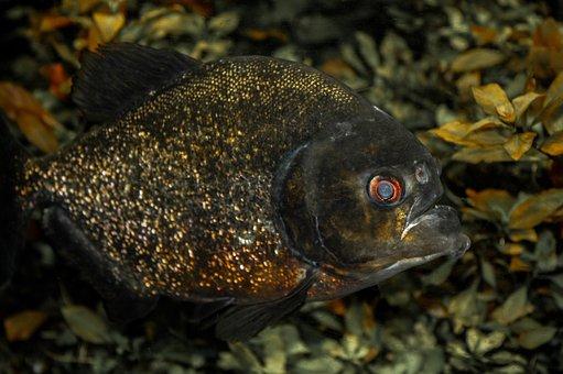 Animal, Fish, Predatory Fish, Tooth, Piranha, Dangerous