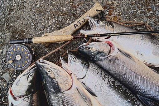 Salmon, Alaska, Fishing, Fish, Alaskan, Fly Fishing