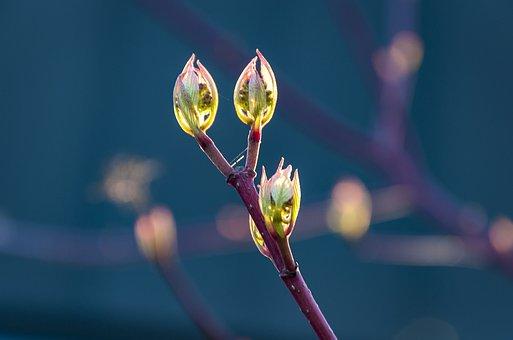 Garden, Cornel, Spring, Sprout
