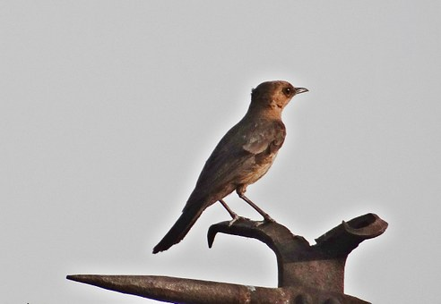 Brown Rock Chat, Indian Chat, Bird, Cercomela Fusca