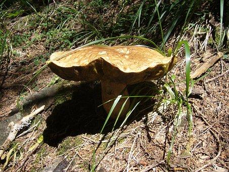 King Bolete, Fungus, Porcini Mushrooms, Boleto