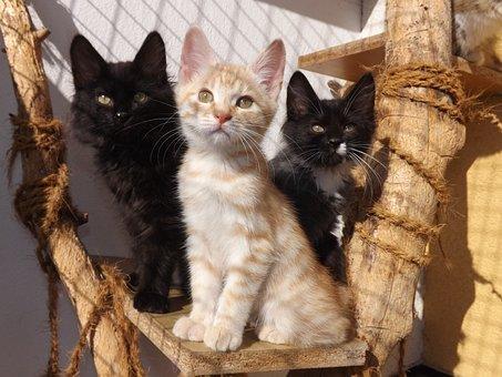 Kurilian Bobtail, Kittens, Black Cat