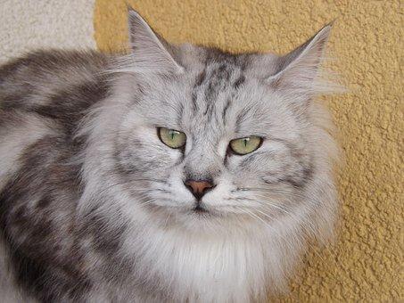 Cat, Domestic Cat, Animals, Kurilian Bobtail