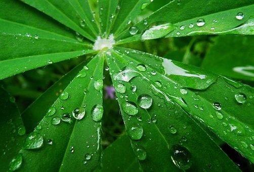 Lupine, Rain, Raindrops, Leaf, Lupinus, Flora