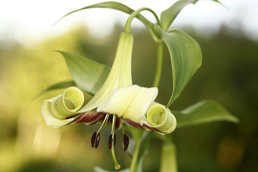 Lily, Lilium Nepalense, Nepalinlilja, Flower