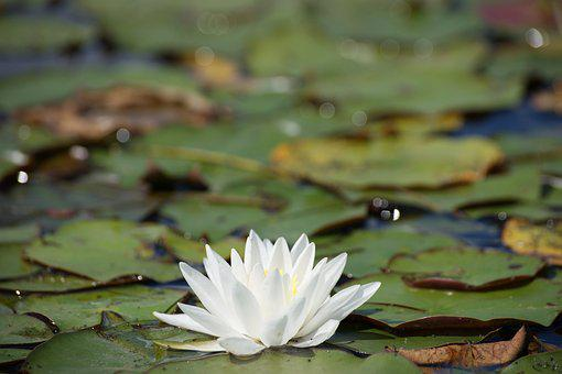 Lily, Flower, River, Lily Pad