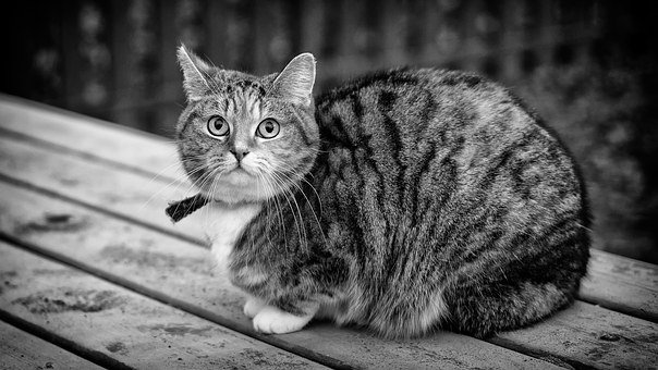 Black And White, Cat, Animal, Domestic, Pet, Looking Up