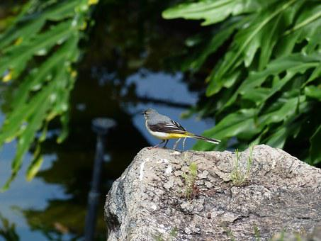 Bird, Grey Wagtail, Motacilla Cinerea, Mountain Stilt