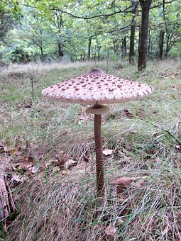 Giant Screen Fungus, Boletes, Drum Mallets, Mushroom